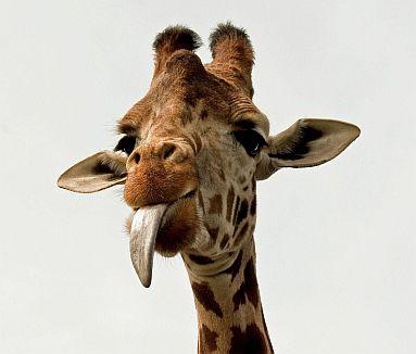 żyrafa mini