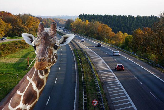 żyrafa na drodze